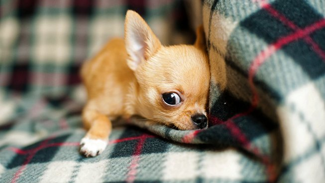 Malý psík, co sloužil jako hračka pro děti i oběd