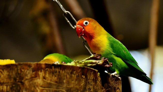 Agapornisové: Papoušci, kteří vás budou milovat
