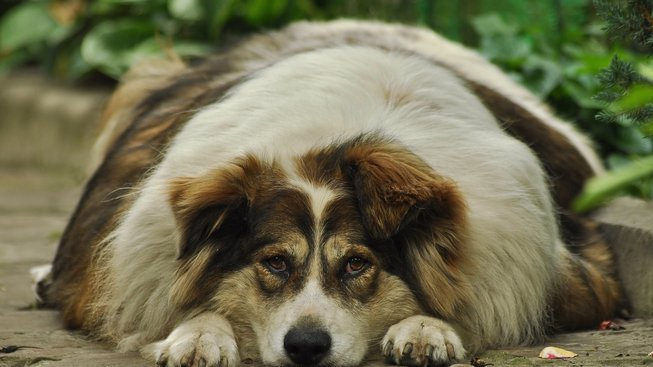 Tlustý pes potřebuje dietu a venkovní posilovnu