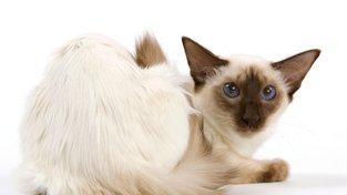 Ladná kočka prý získala název podle tanečnic na Bali