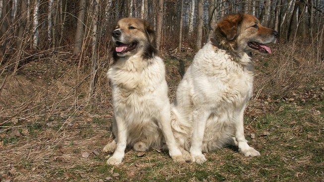 Český horský pes na svou slávu teprve čeká