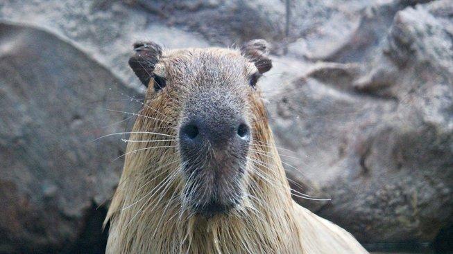 Pohodová kapybara jako domácí mazlíček