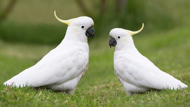 Kakadu žlutočečelatý: Ukřičený, ale chytrý a zvědavý papoušek