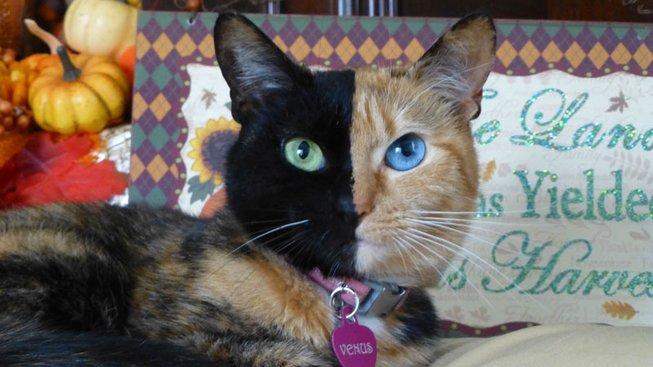 Kočka 'dvou tváří' nedá genetikům spát. Fanoušci ji ale milují