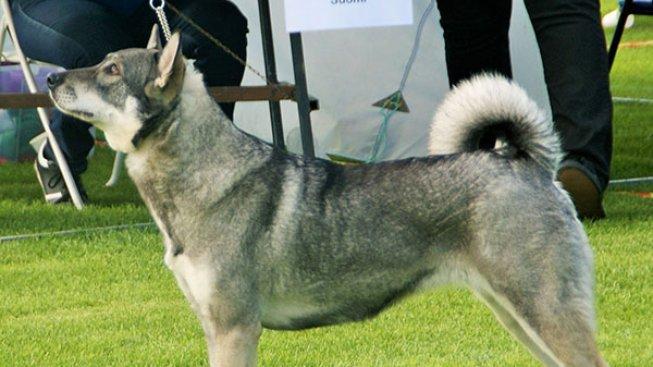 Potomek vlka sice není mazel, ale zkušené chovatele si podmaní