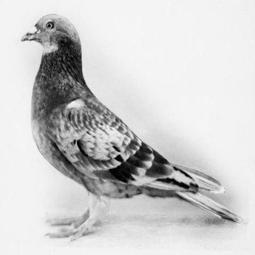 Commando_pigeon_hu_61413