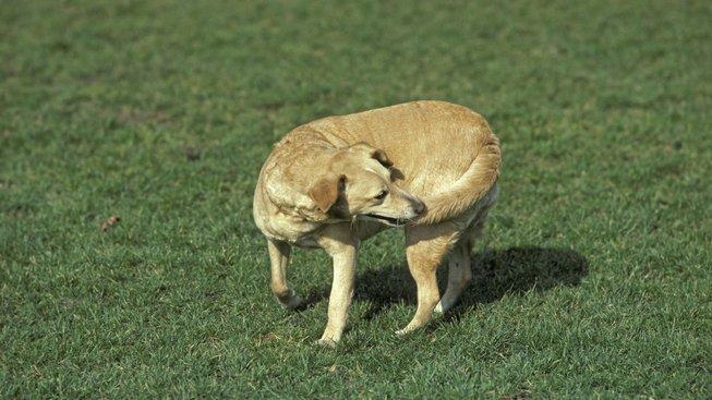 Proč se psi honí za svým ocasem?