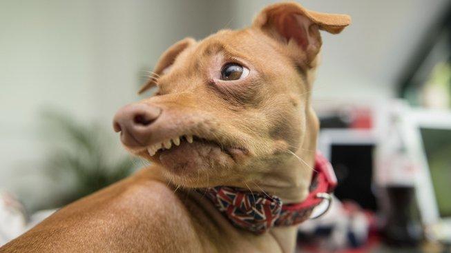 Pes 'Fofola': Ošklivý kříženec s předkusem, který okouzlil svět