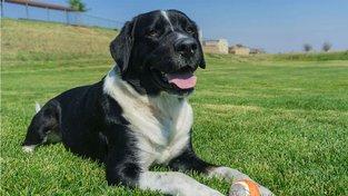 Labernese je křížencem labradorského retrívra a bernského salašnického psa