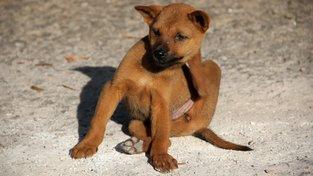 Zamořenost blechami může pro štěně skončit hodně špatně