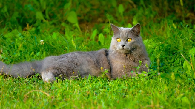Kočka, která měla už v 18. století výsadu být mazlíček dam