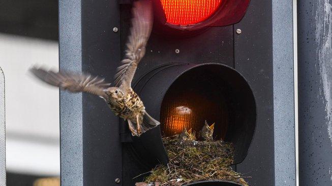 Podívejte se: Ptačí rodina se usídlila v rušném semaforu