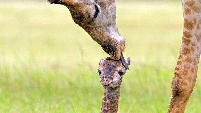 Něžná péče o žirafí miminko