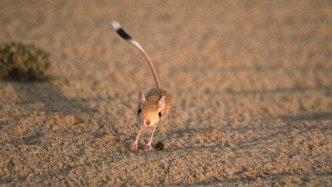 Tarbíci - roztomilí hlodavci, kteří skáčou jako klokani