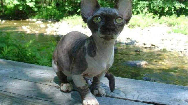 Minskin - zvláštní kočky, co 'vypadají jako skřeti, ale mají srdce skřítka'