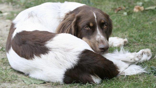 Český 'strakáč': Pes, na kterém poprvé vyzkoušeli transplantaci ledviny