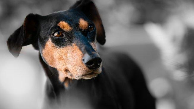 Psi nejsou barvoslepí. Jak ale vidí?
