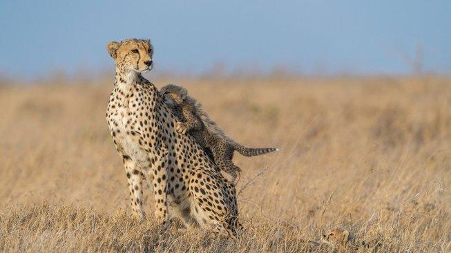 Malý gepard ví, kam je dobré vyšplhat