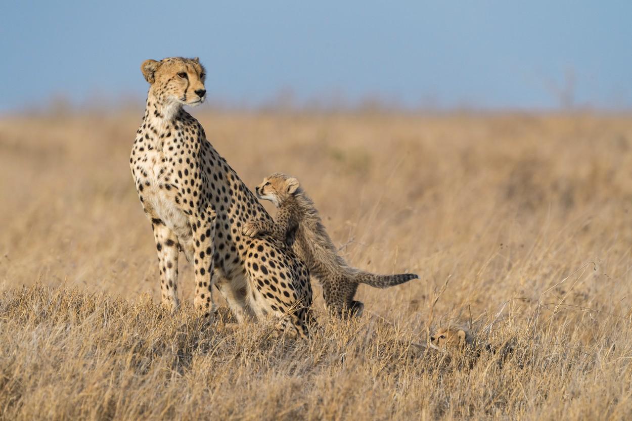 Gepardi