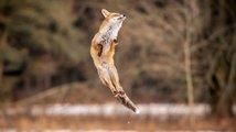 Liška ve skoku