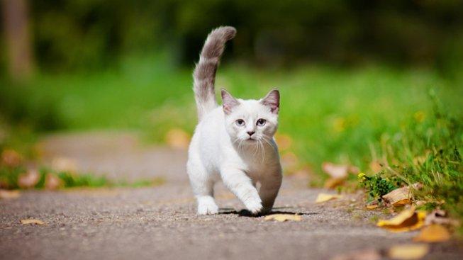 Nové kočičí plemeno: Načechraná koule na krátkých tlapkách