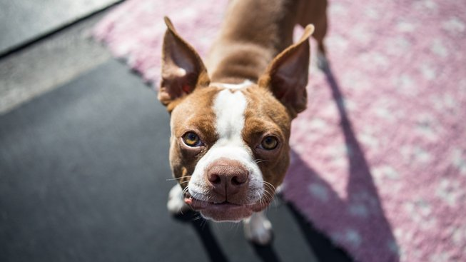 Pes pro boj, který skončil jako mazel