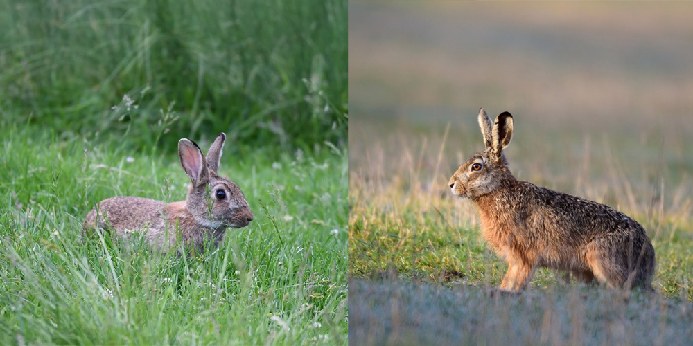 zajíc a králík