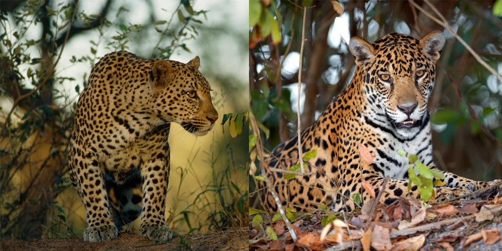 jaguár vs. leopard