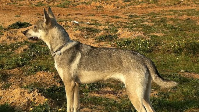 Hierranský vlčák – vzácné plemeno, které stále čeká na uznání