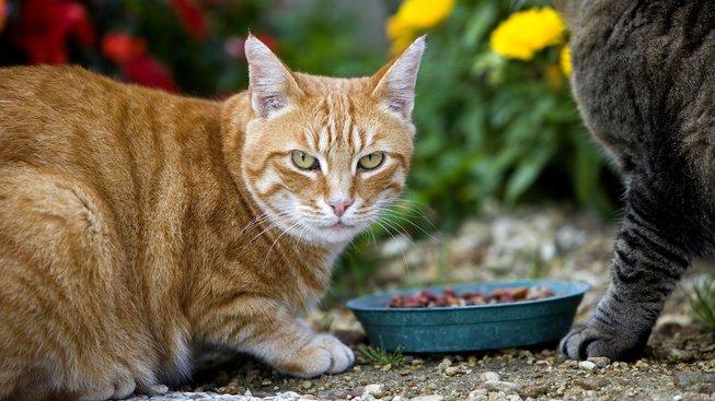 Jak krmit venkovní kočku?