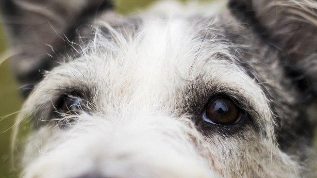 'Psí oči' jako důmyslná taktika