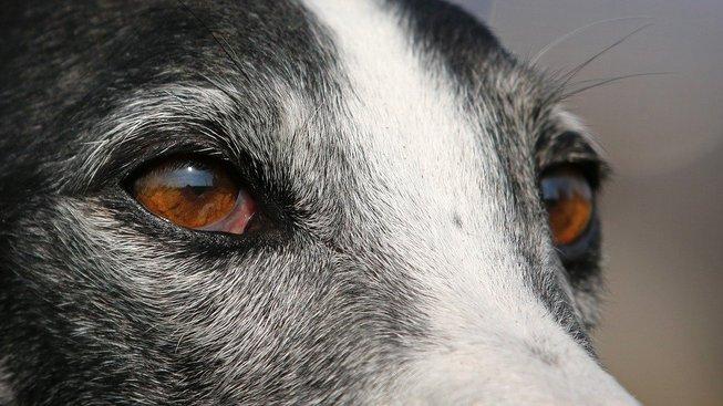greyhound-3250349_1280