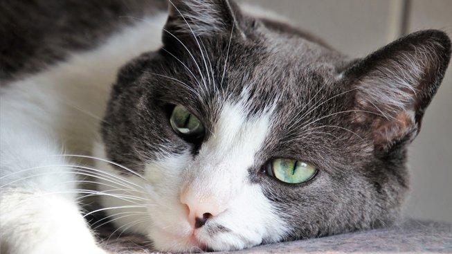 Nebezpečná bulka, která může zabít vaši kočku