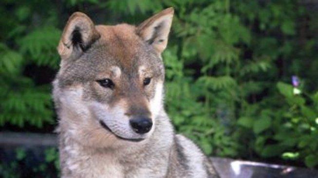 Šikoku-ken: Pes považovaný za národní památku