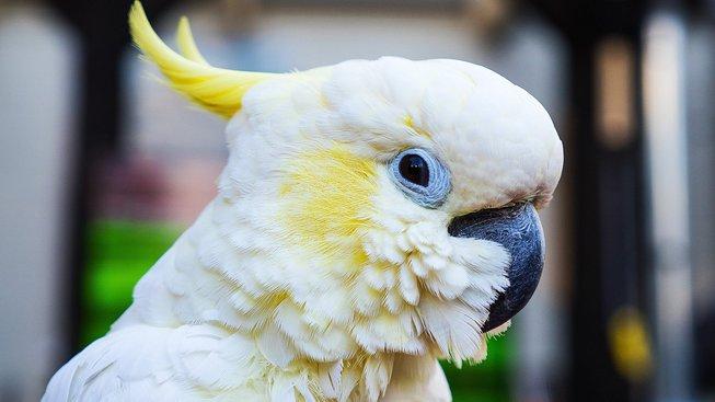 Jak se ocitl papoušek na středověké malbě?