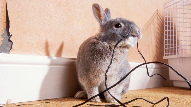 Magická přitažlivost kabelů: Proč jim králíci nedokážou odolat?