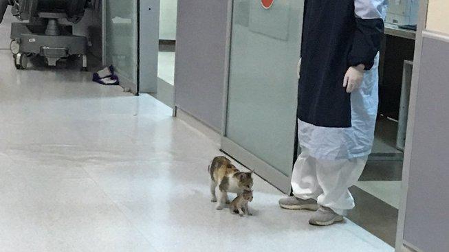 Starostlivá kočičí máma: Podívejte se, jak nese kotě do nemocnice
