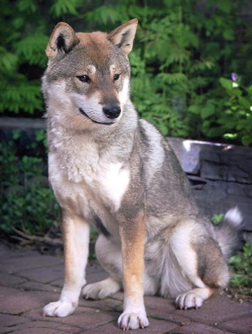 Shikoku_dog