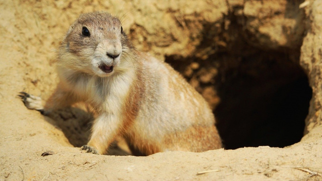black-tailed-prairie-dog-3341378_1280