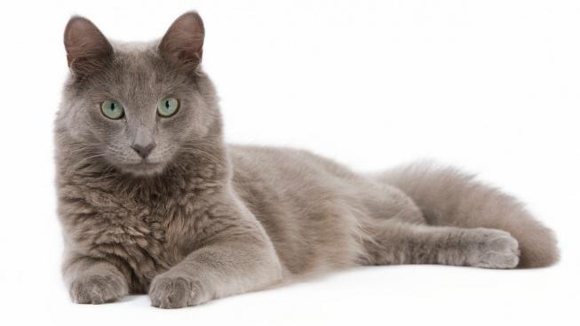 Nebelung - Kočičí kráska podobná ruské modré