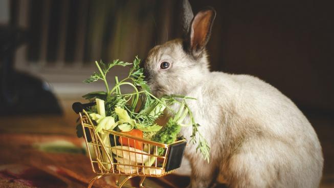 dwarf-rabbit-4845651_1920