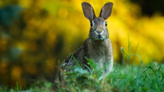 Králík domácí a králík divoký: Jaký je mezi nimi rozdíl?
