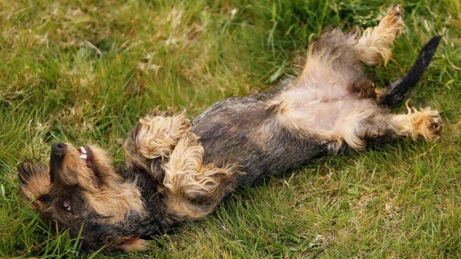 Proč se psi vždy vyválejí v tom největším smradu?
