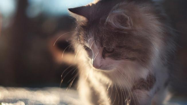 Něžný obr jménem sibiřská kočka