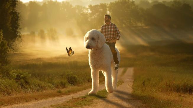 Obří pes Juji vozí svého páníčka na zádech. Je hvězdou internetu