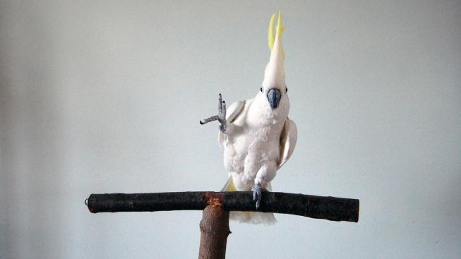 Tančící kakadu baví internet a fascinuje vědce