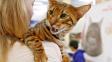 Toyger - kočka vyšlechtěná, aby vypadala jako tygr