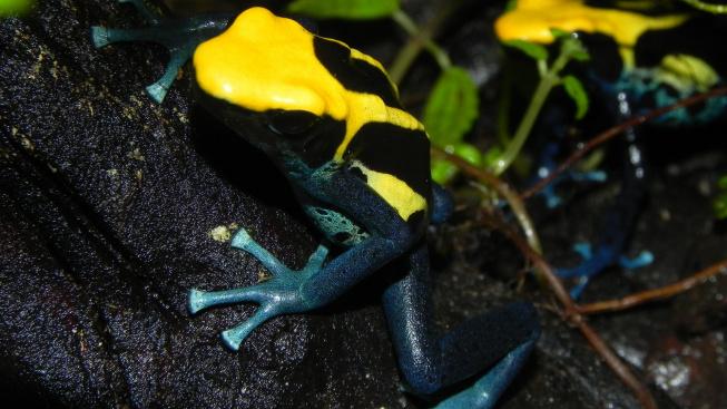 Pořiďte si domů nejjedovatější žáby. Zpívají jako slavík
