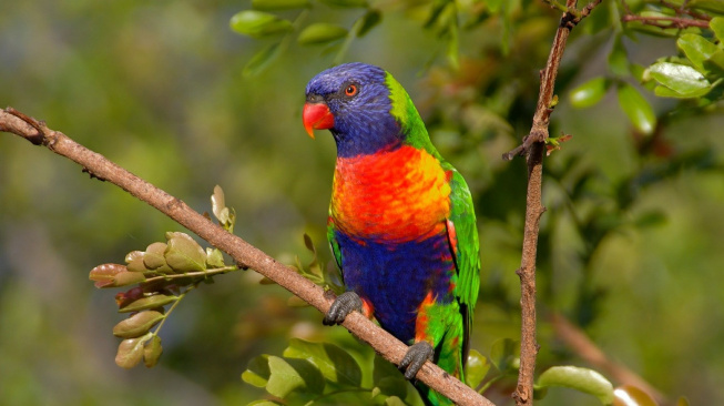 rainbow-lorikeet-420706_1920