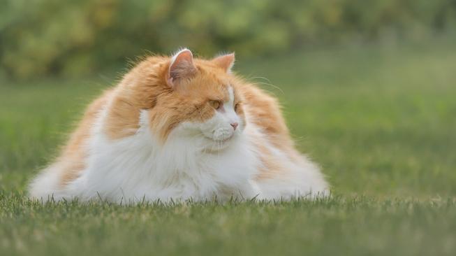 Britská dlouhosrstá kočka